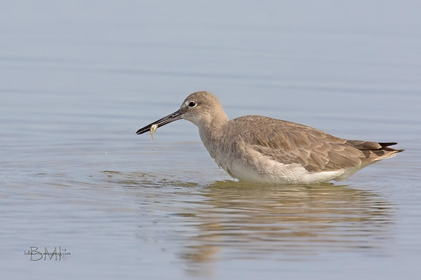 Willet with small crab