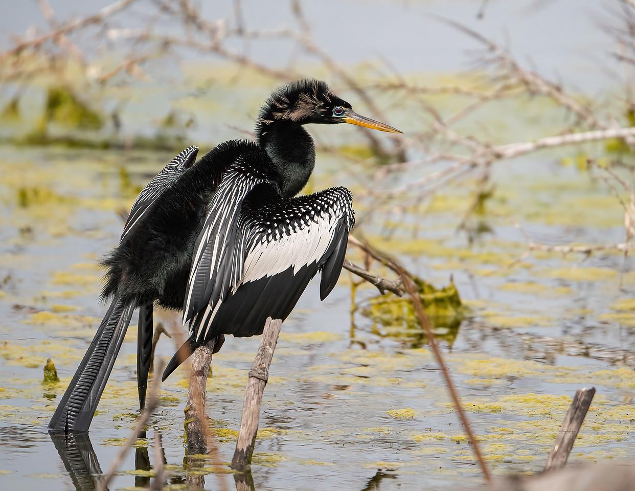 IMAGE: https://photos.smugmug.com/Beautyinthetreesandintheair/Swimming-birds/i-fFpR4Mf/2/ddaf955a/X2/Anhinga_9_3-10-21-8%20RS-X2.jpg