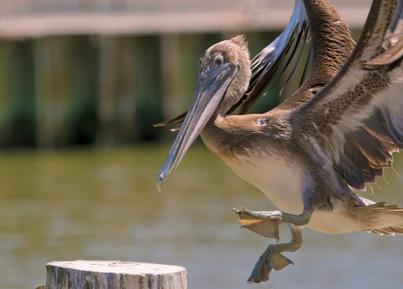 IMAGE: https://photos.smugmug.com/Beautyinthetreesandintheair/Swimming-birds/i-zXzFx6q/2/8e816e3e/X3/Pelican%20San%20Leon_2014-X3.jpg