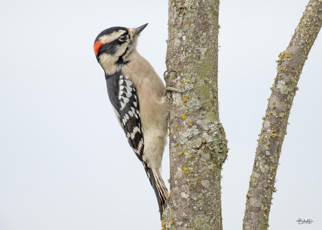 IMAGE: https://photos.smugmug.com/Beautyinthetreesandintheair/Woodpeckers/i-GL8dxmT/1/97f2a128/X2/Downy%20woodpecker%20C%2011-6-19-82-X2.jpg