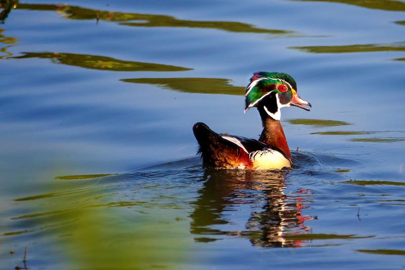 6.5.19 - Beaver Lake Fish Nursery: Male Wood Duck Battle - The Winner