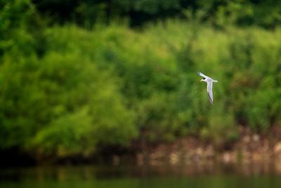 6.16.19 - Beaver Lake Fish Nursery: Least Tern