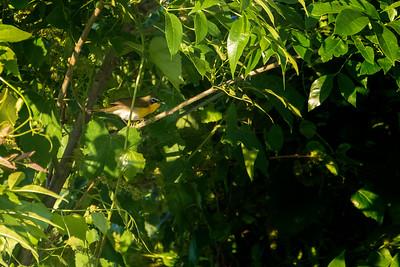 5.20.19 - Blackburn Creek Fish Nursery: Yellow-Breasted Chat