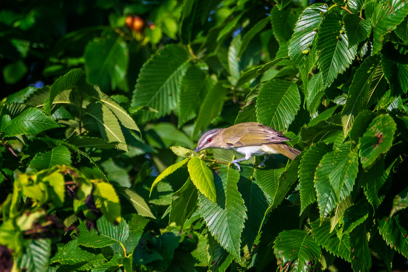 6.5.19 - Beaver Lake Fish Nursery: Red-Eyed Vireo