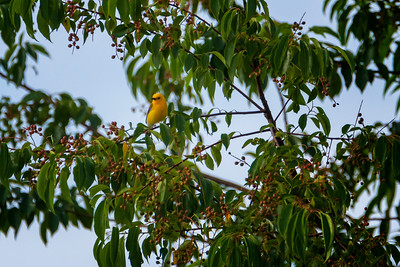 6.16.19 - Beaver Lake Fish Nursery: Prothonotary Warbler