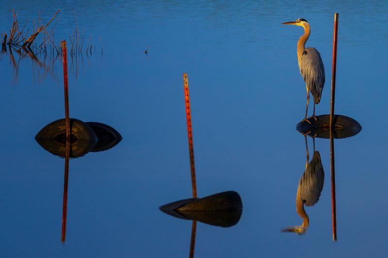 6.14.19 - Beaver Lake Fish Nursery: Great Blue Heron
