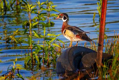 6.5.19 - Beaver Lake Fish Nursery: Wood Duck