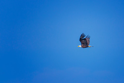 5.25.19 - Blackburn Creek Fish Nursery: American Bald Eagle