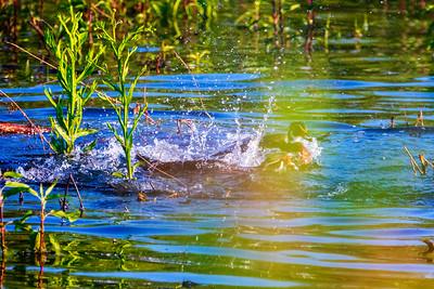 6.5.19 - Beaver Lake Fish Nursery: Male Wood Duck Battle