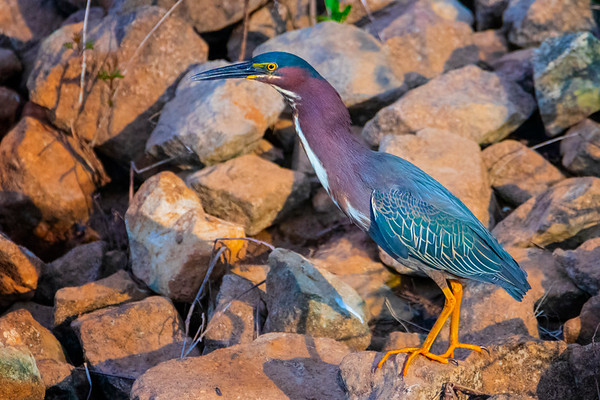 5.28.19 - Blackburn Creek Fish Nursery: Green Heron