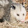 opossum  sm    5