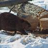 adirondack        woods              42a   a11