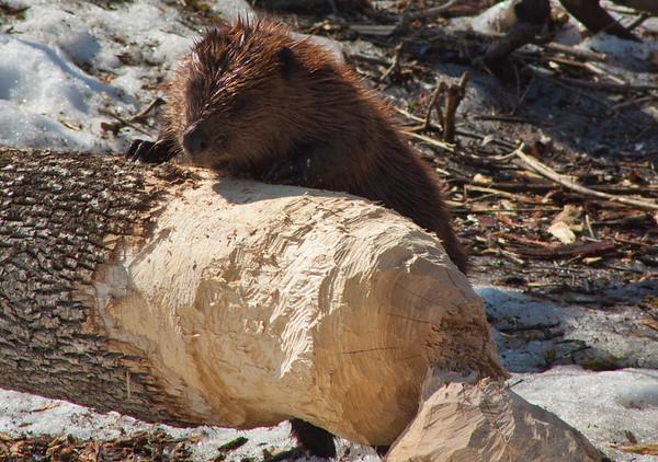 beaver woodchuck  rabbits squirrels rodents