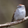 A Chipping Sparrow At The Beavercreek Wetland Wildlife Preserve 4-9-2015