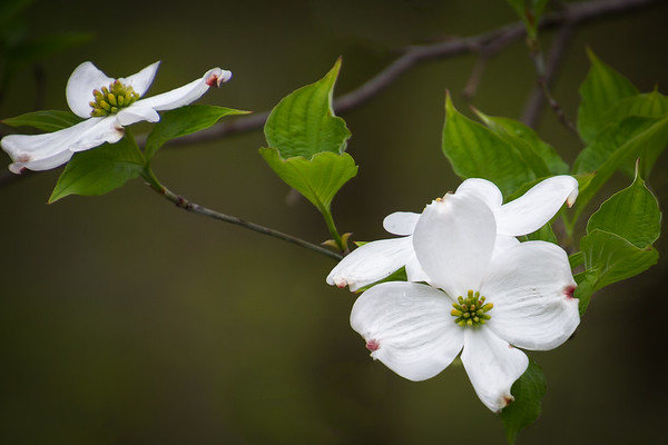 A Dogwood Tree In Bloom In Montgomery County Ohio 5-1-2016