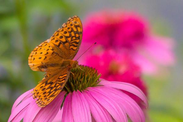 A Great Spangled Fritillary Butterfly On A Prairie Cone Flower At The Wegerzyn Gardens Preserve In Dayton Ohio 6-30-2015