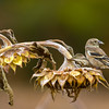 A Finch Gathering Sunflower Seeds At The Russ Nature Reserve Greene County Ohio 10-24-2015
