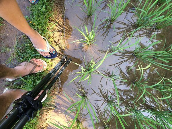 Dans la gadoue des rizières.