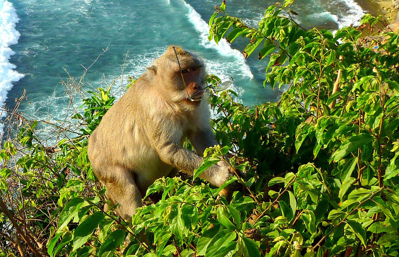 Singe voleur à Uluwatu (photo d'illustration)