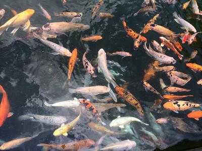 Plein de poissons dans les bassins du temple Tirta Empul.