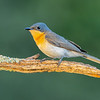 Leaden Flycatcher, Myiagra rebecula