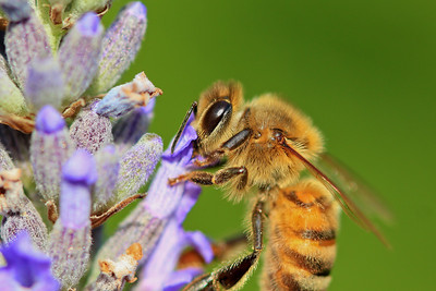 Bee on the lavender