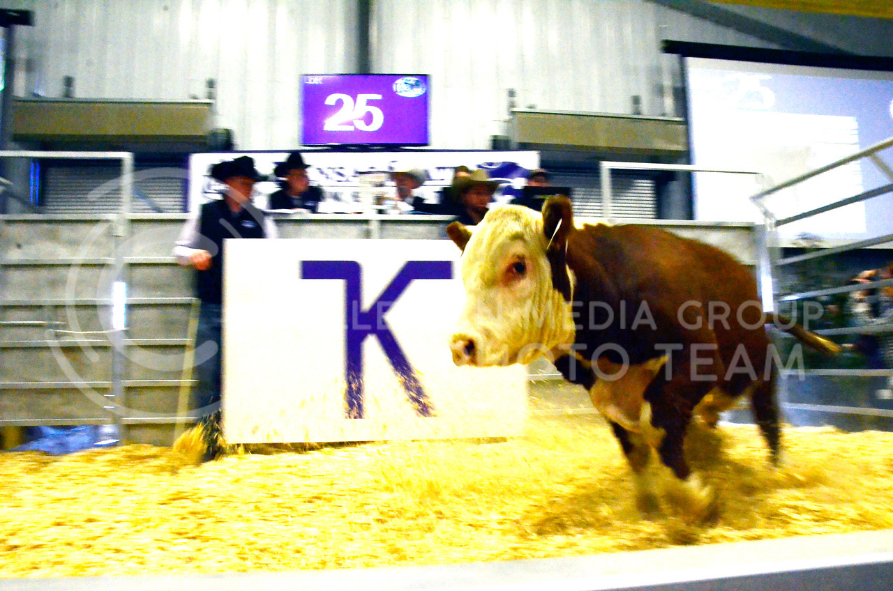 A bovine stays active in the show pen at the beef sale on Cattleman's Day on Friday, March 2, 2018, at the Stanley Stout Center, 2200 Denison Ave. (Tiffany Roney   Collegian Media Group)