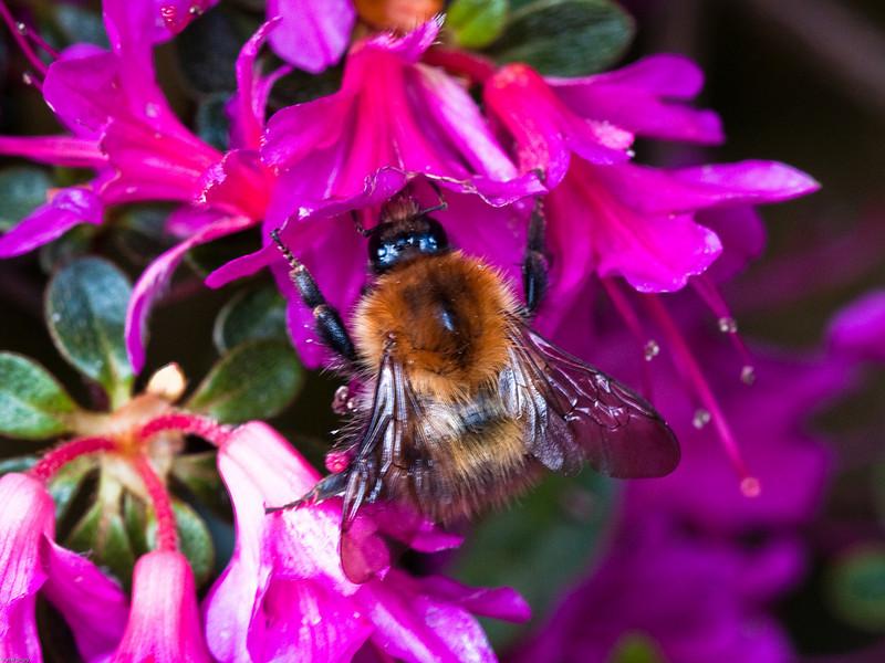 Common Carder Bumblebee (Bombas pascuorum)