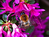 Common Carder Bumblebee (Bombas pascuorum)