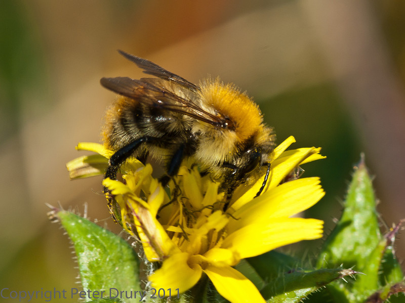 29 Sep 2011 Carder Bumblebee at Plant Farm
