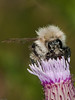 Common Carder Bee (Bombus pascuorum). Photo Copyright 2009 Peter Drury