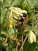 Common carder bumblebee (Bombus pascuorum). Copyright Peter Drury 2010