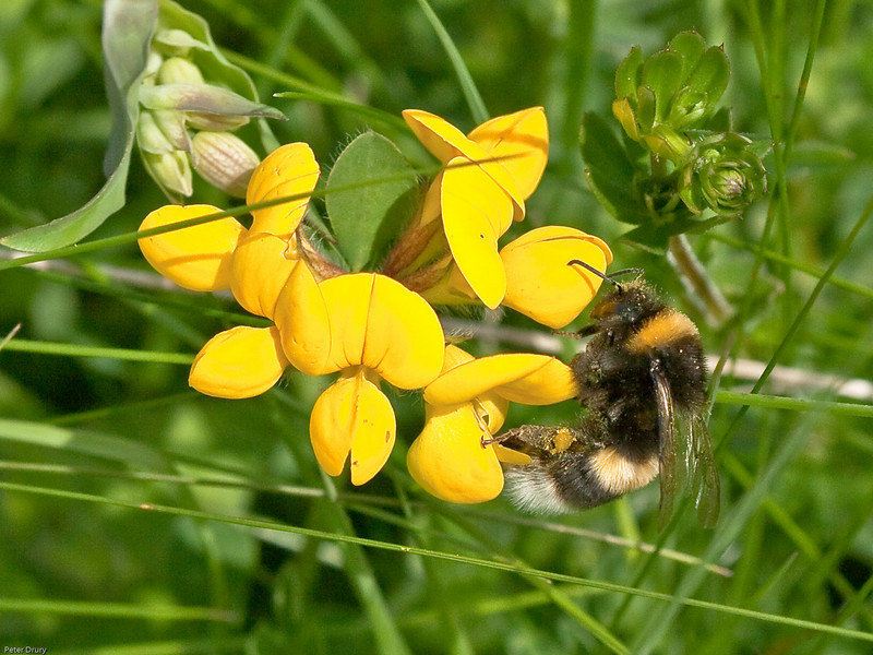 White Tailed Bumblebee (Bombus lucorum) - Female