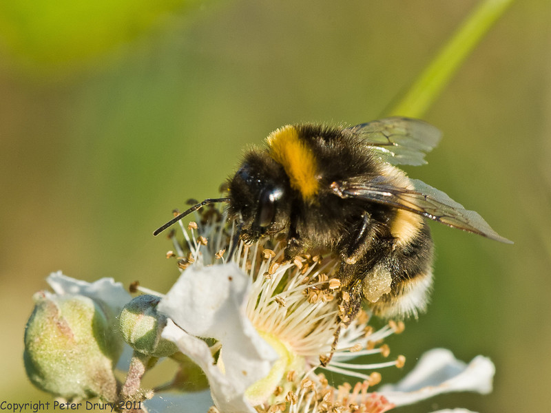 04 July 2011. Buff-tailed Bumblebee at Widley. Copyright Peter Drury 2011