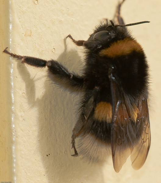 Buff-tailed Bumblebee (Bombus terrestris). Copyright 2009 Peter Drury<br /> A worker with typical white tail.