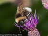 Cuckoo Bee (Bombus vestalis). Copyright Peter Drury 2010