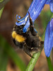 Bombus pratorum. Copyright Peter Drury 2010