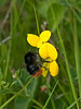 Red tailed Bumblebee (Bombus lapidarius)<br /> Female (No yellow bands on Thorax)