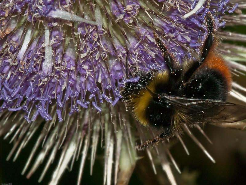 Red-tailed Bumblebee. Copyright 2009 Peter Drury