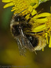 16 Sep 2011 Faded male Bombus lapidarius at Plant Farm.
