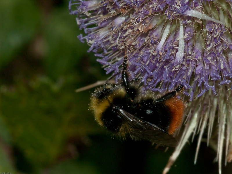 Red-tailed Bumblebee. Copyright 2009 Peter Drury