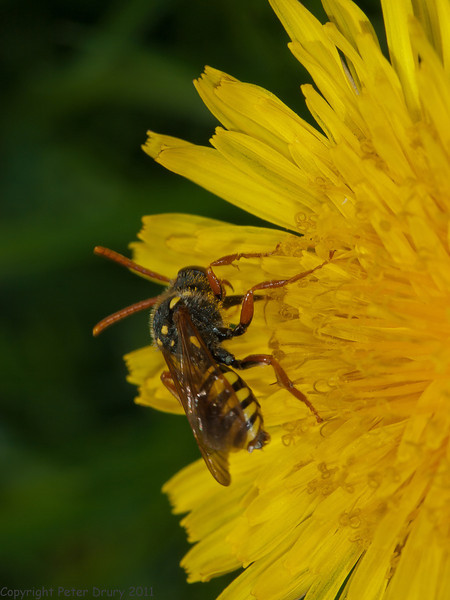 9 May 2011. Cuckoo Bee at Widley. Copyright Peter Drury 2011