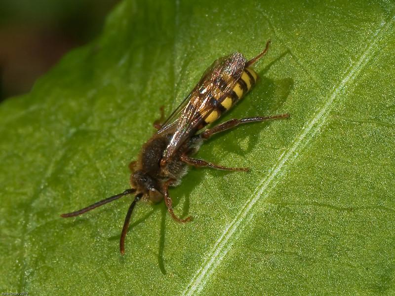 Cuckoo Bee (Nomada sp).Copyright Peter Drury 2010