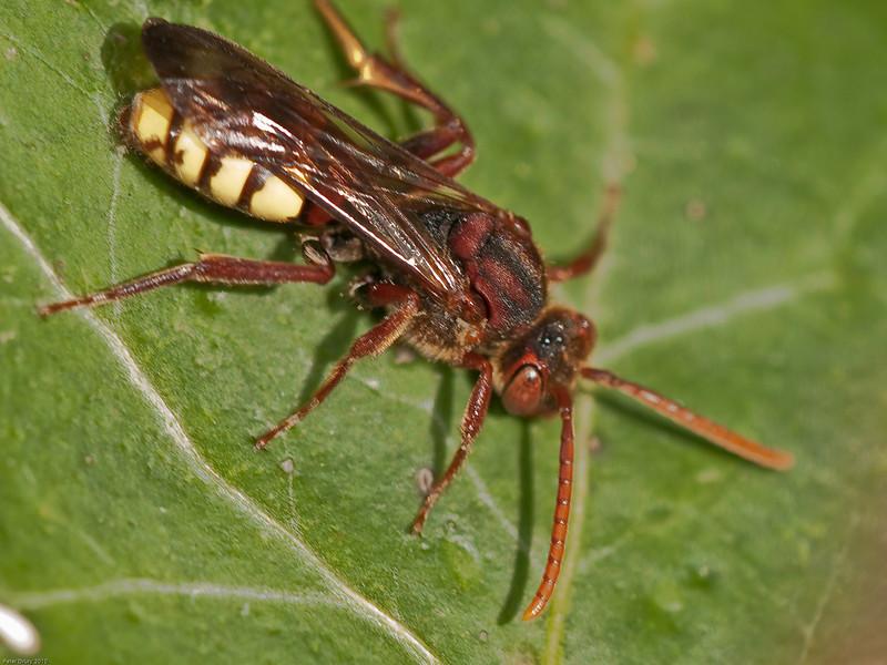 Cuckoo Bee (Nomada sp). Copyright Peter Drury 2010