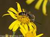 04 Sep 2010 -  Lasioglossum calceatum (male) at Broadmarsh. Copyright Peter Drury 2010