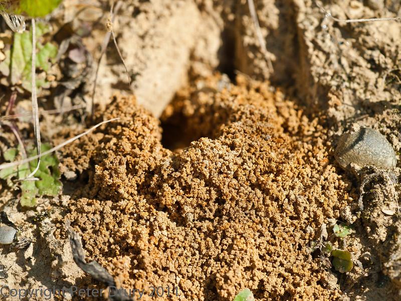 29 Sep 2011 Ivy mining Bee excavation at Plant Farm
