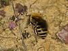 16 Sep 2011 Ivy Mining Bee (Colletes hederae)