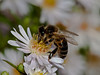 Honey Bee ?. Copyright 2009 Peter Drury
