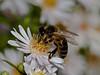 Honey Bee ?. Copyright 2009 Peter Drury