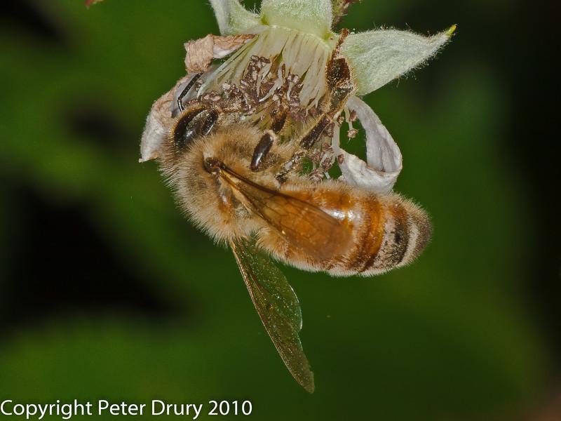 Honey Bee. Copyright Peter Drury 2010
